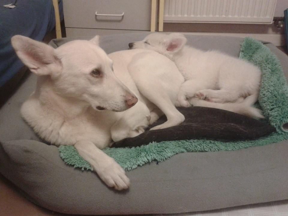 Hodowla Białych Owczarków Szwajcarskich Clockwork Shepherd Mieciu the Dog i chiloe z chaty leona white swiss shepehrd