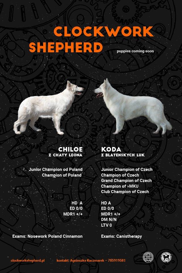 Hodowla Clockwork Shepherd FCI ZKwP szczeniaki miot W Biały owczarek szwajcarski Chiloe z Chaty Leona White swiss shepherd puppies 2