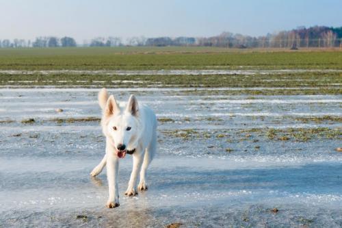 Biały Owczarek Szwajcarski, White Swiss Shepherd Leila Full Moon Pearls Clockwork Shepherd 06