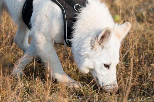 Biały Owczarek Szwajcarski, White Swiss Shepherd Leila Full Moon Pearls Clockwork Shepherd 08
