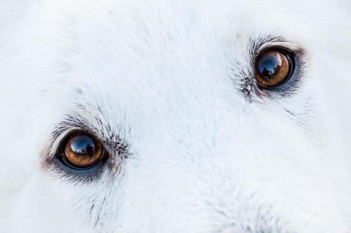Biały Owczarek Szwajcarski, White Swiss Shepherd Leila Full Moon Pearls Clockwork Shepherd 15