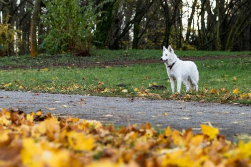 Biały Owczarek Szwajcarski, White Swiss Shepherd Leila Full Moon Pearls Clockwork Shepherd 19